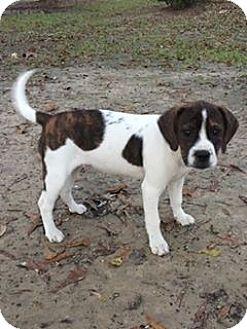 Beagle/Boxer Mix Dog for adoption in Baton Rouge, Louisiana - Dawn