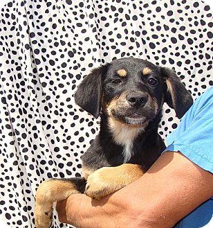 German Shepherd Dog/Labrador Retriever Mix Puppy for adoption in Oviedo, Florida - Ziggy