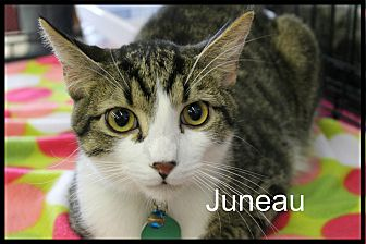Domestic Shorthair Cat for adoption in Wichita Falls, Texas - Juneau