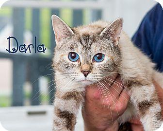 Domestic Shorthair Cat for adoption in Somerset, Pennsylvania - Darla