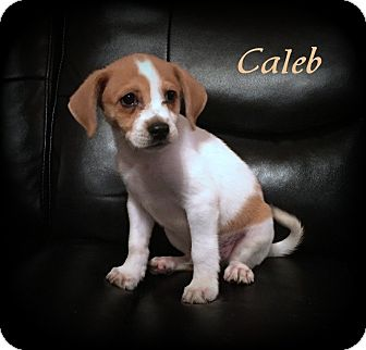 Jack Russell Terrier/Feist Mix Puppy for adoption in Denver, North Carolina - Caleb