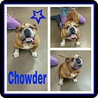 Adopt A Pet :: Chowder - Park Ridge, IL