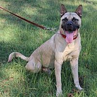 Akita/Mastiff Mix Dog for adoption in Lawrenceville, Georgia - Zuma
