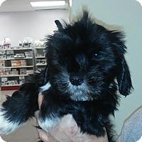 Adopt A Pet :: Tuffie - House Springs, MO