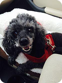 Poodle (Miniature) Dog for adoption in Madison, Wisconsin - Nahla:Gentle Girl! (NJ)