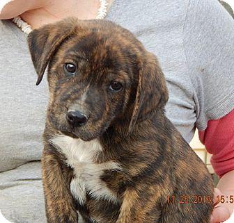 Akita/Retriever (Unknown Type) Mix Puppy for adoption in Burlington, Vermont - Echo (5 lb) Cutie Pie!