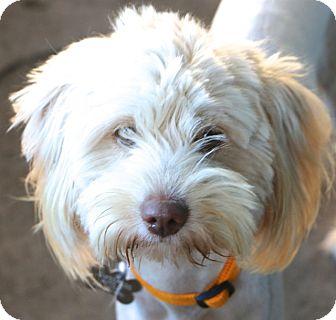 Tibetan Terrier Mix Dog for adoption in Bedminster, New Jersey - Allegra -