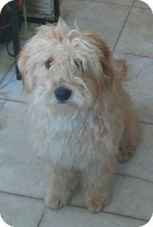 Lhasa Apso/Poodle (Miniature) Mix Puppy for adoption in Poway, California - SOPHIA
