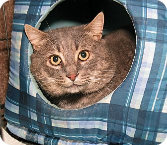 Domestic Shorthair Cat for adoption in Milford, Massachusetts - Maxwell