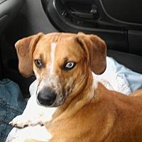 """Adopt A Pet :: Gulliver """"Gully"""" - Girard, GA"""