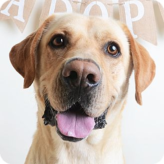 Mixed Breed (Large)/Labrador Retriever Mix Dog for adoption in Wilmington, Delaware - Moose