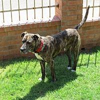 Plott Hound Dog for adoption in Midland, Texas - Bear