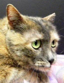 Domestic Shorthair Cat for adoption in Columbus, Nebraska - Lucy