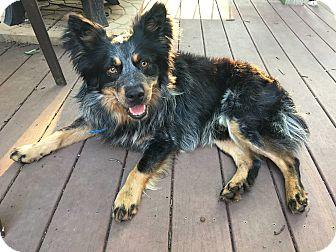 Australian Cattle Dog/Sheltie, Shetland Sheepdog Mix Dog for adoption in Baltimore, Maryland - Tucker