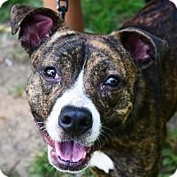 Boxer/American Staffordshire Terrier Mix Dog for adoption in Huntley, Illinois - Quinn