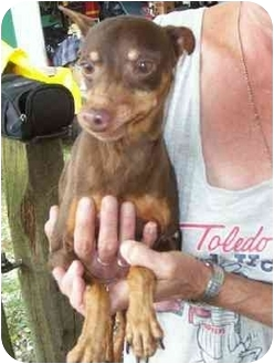 Miniature Pinscher Dog for adoption in Wauseon, Ohio - Evie..Adopted
