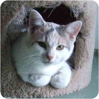 Domestic Shorthair Cat for adoption in Batavia, Ohio - Reese