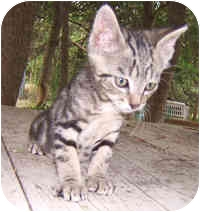 Bengal Kitten for adoption in Dallas, Texas - Watermint