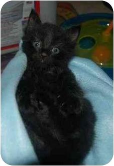 Domestic Longhair Kitten for adoption in Cincinnati, Ohio - Jack