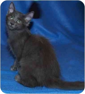 Domestic Mediumhair Cat for adoption in McHenry, Illinois - Bianca