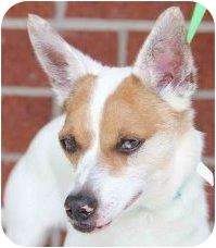 Chihuahua/Australian Shepherd Mix Dog for adoption in Houston, Texas - Toby