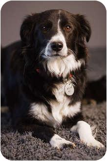 Border Collie Dog for adoption in Portland, Oregon - Lacey
