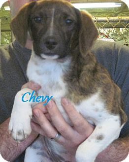 Beagle/Feist Mix Puppy for adoption in Linden, Tennessee - Chevy