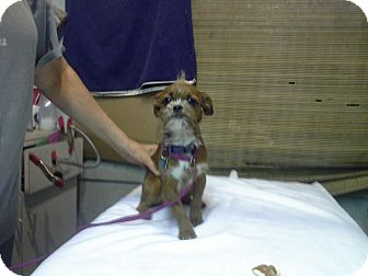 Brussels Griffon/Terrier (Unknown Type, Small) Mix Dog for adoption in Van Nuys, California - Prince Harry