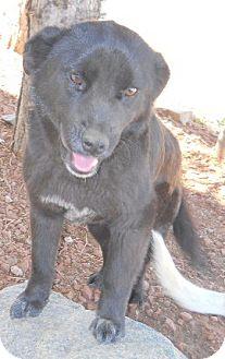 Chow Chow/Cattle Dog Mix Dog for adoption in dewey, Arizona - Panda