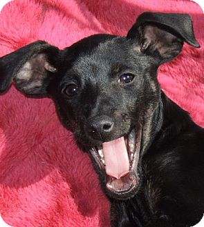 Miniature Pinscher Mix Puppy for adoption in La Habra Heights, California - Sasha