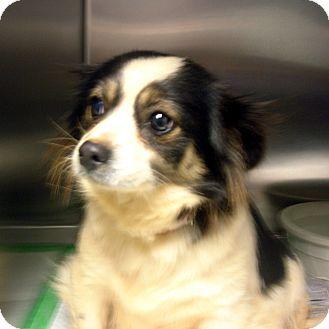 Pomeranian/Pekingese Mix Dog for adoption in Manassas, Virginia - Sugar