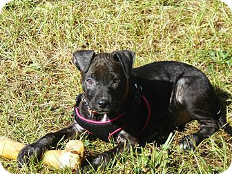American Pit Bull Terrier Mix Puppy for adoption in Roaring Spring, Pennsylvania - Layla
