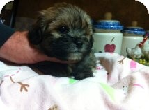 Shih Tzu Mix Puppy for adoption in Cranford, New Jersey - Chase