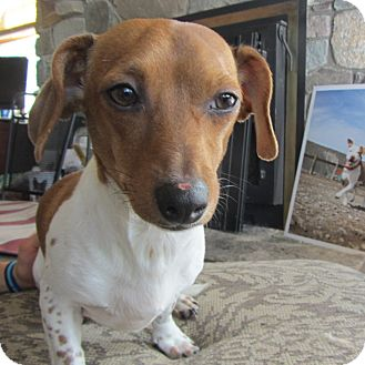 Dachshund Mix Dog for adoption in Ridgway, Colorado - Elmo
