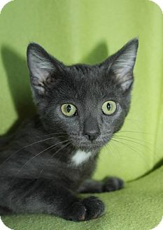 Russian Blue Kitten for adoption in Richland, Michigan - Tess