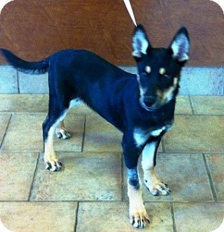 German Shepherd Dog/Husky Mix Puppy for adoption in Oswego, Illinois - Rikki