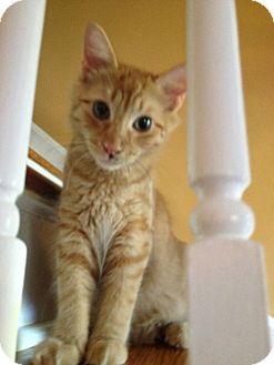Domestic Mediumhair Cat for adoption in North Brunswick, New Jersey - Flynn