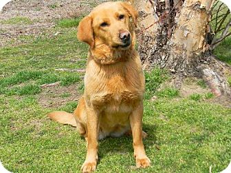 Labrador Retriever/Golden Retriever Mix Dog for adoption in Tyner, North Carolina - Missy
