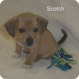 Cocker Spaniel/Rat Terrier Mix Puppy for adoption in Slidell, Louisiana - Scotch