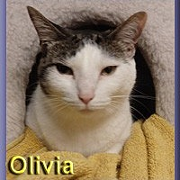 Domestic Shorthair Cat for adoption in Aldie, Virginia - Olivia