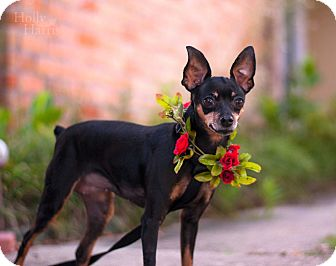 Miniature Pinscher Mix Dog for adoption in Baton Rouge, Louisiana - Roxy