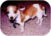 Chihuahua Dog for adoption in Tahlequah, Oklahoma - Dudley