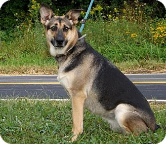 German Shepherd Dog Dog for adoption in Batavia, Ohio - Shay