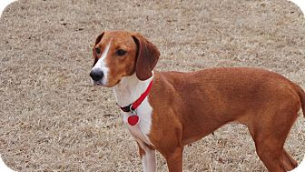 Hound (Unknown Type) Mix Dog for adoption in Media, Pennsylvania - Penelope