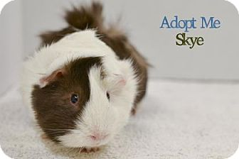 Guinea Pig for adoption in West Des Moines, Iowa - Skye