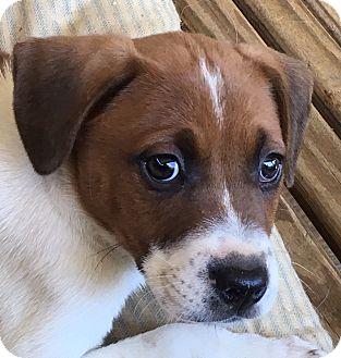 Beagle Mix Puppy for adoption in Allentown, Pennsylvania - Glen