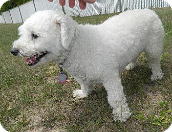 Bichon Frise Dog for adoption in Umatilla, Florida - Lily