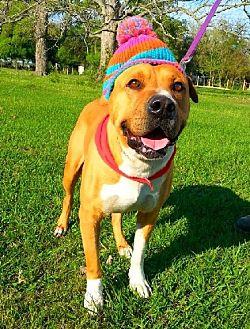 Shar Pei/Boxer Mix Dog for adoption in Huntington, New York - Arnie - N