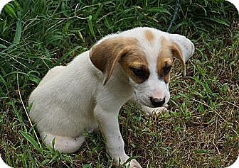 Boxer/Beagle Mix Puppy for adoption in West Nyack, New York - Jaq