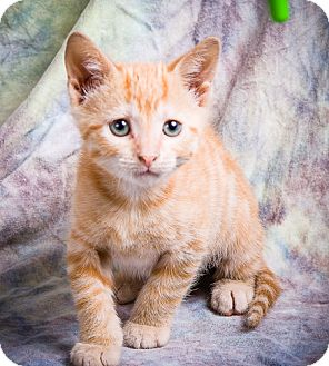 Domestic Shorthair Kitten for adoption in Anna, Illinois - SKEETER